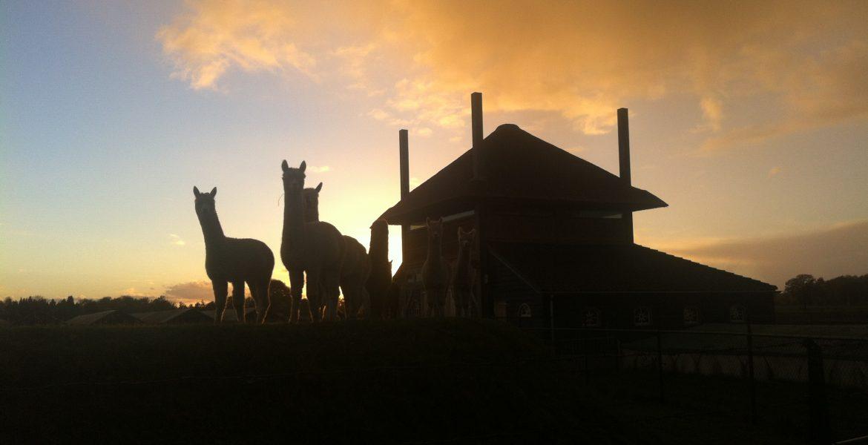 alpacas bij zonsondergang