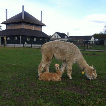 Alpaca Expo Drachten 2019