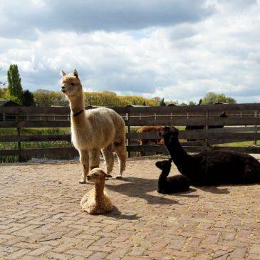 Alpacashow Vorstenbosch 2019