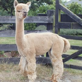 Alpaca Hengsten - Waratah Flats Fire Cracker