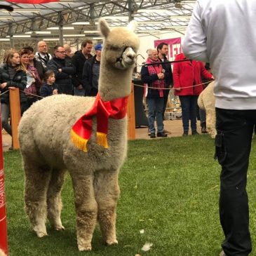 Alpacashow Boekel 2019